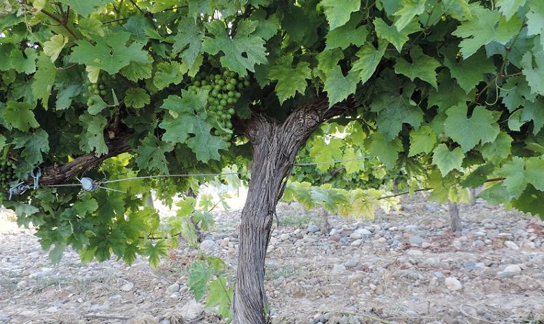 Ese fruto arracimado que es la uva